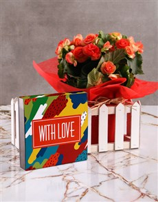 plants: Begonia Picket Fence with Love Chocs!