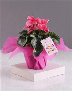 plants: Good Things Cerise Cyclamen!