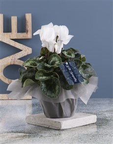 plants: White Cyclamen With Sympathy!