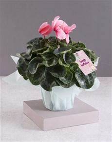 flowers: White Birthday Cyclamen!