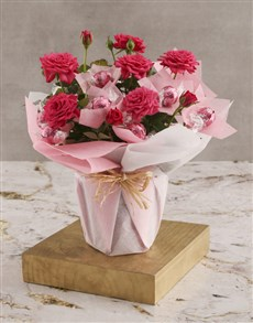 flowers: Cerise Rose Bush And Chocolates!