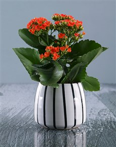 gifts: Vibrant Kalanchoe Plant in Ceramic Pot!