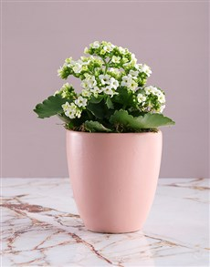 gifts: White Kalanchoe Plant in Pink Pot!