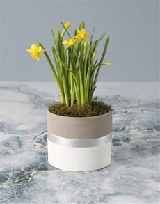flowers: Dapper Daffodil in Pot!