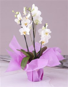 gifts: Serene Pink Midi Orchid!