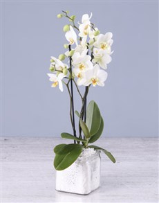 flowers: Soothing Midi Orchid!
