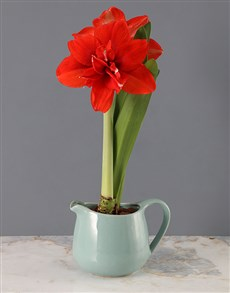 plants: Red Amaryllis in Blue Jug!