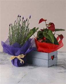 plants: Lavender and Anthurium in Heart Crate!