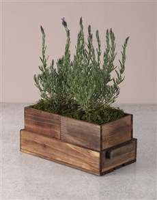 plants: Lavender Duo in Wooden Holder!
