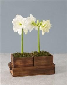 plants: Seasonal Amaryllis in Wooden Box!