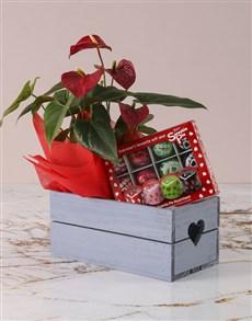 plants: Anthurium Sweetie Pie Hamper!