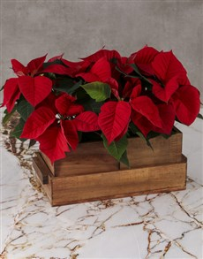 flowers: Cheerful Poinsettias in Wooden Pot!