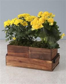 gifts: Yellow Begonias And Chrysanthemums!