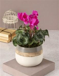 flowers: Cerise Cyclamen In Rustic Pot!