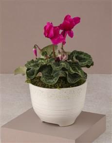 flowers: Cerise Cyclamen In White Ceramic Pot!