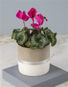 flowers: Cerise Cyclamen In Stylish Pot!
