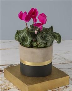 flowers: Cerise Cyclamen In Striking Pot!