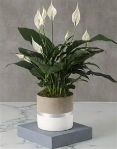 flowers: Charming Spathiphyllum Pot Plant!