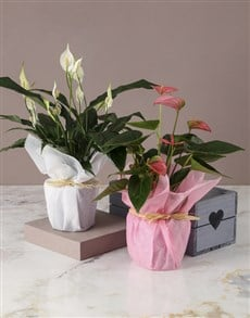 flowers: Pink And White Anthurium Duo Crate!