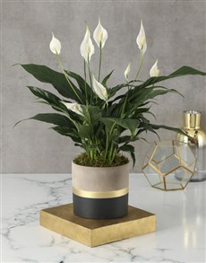 flowers: Captivating Spathiphyllum Pot Plant!