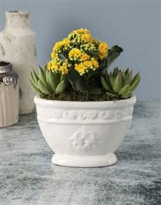 flowers: Yellow Kalanchoe In Roman Pot!