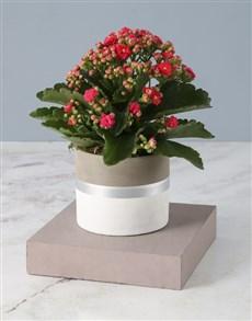 flowers: Cerise Kalanchoe In Tri Toned Pot!