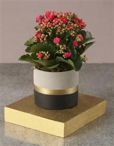 flowers: Cerise Kalanchoe In Fancy Pot!
