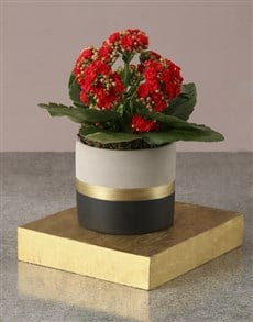 plants: Red Kalanchoe In Striking Pot!