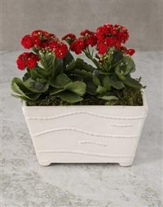 plants: Kalanchoe In Ceramic Planter!