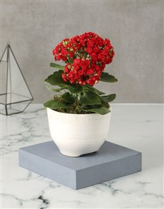 flowers: Red Kalanchoe In Pristine Pot!
