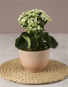 plants: White Kalanchoe In Pink Ceramic Pot!
