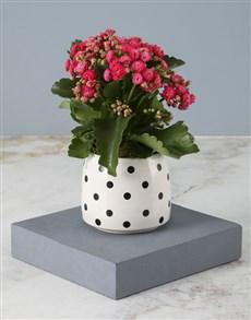 flowers: Cerise Kalanchoe In Polka Dot Pot!