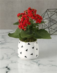 flowers: Red Kalanchoe In Geometric Pot!