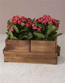 plants: Kalanchoes In Nesting Crates!