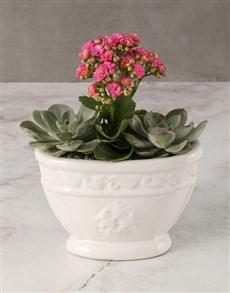 plants: Cerise Kalanchoe In Roman Pot!