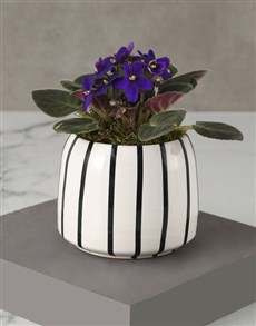 plants: African Violet In Striped Pot!