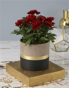 plants: Chrysanthemums in a Cement Pot!