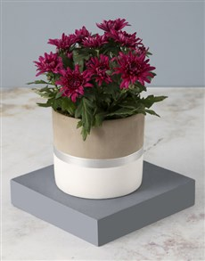 plants: Cheerful Chrysanthemums in a Silver Pot!