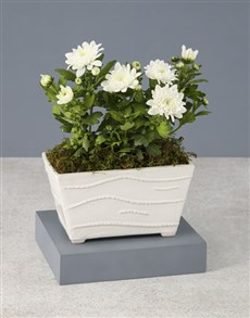 flowers: Chrysanthemums in a White Planter!
