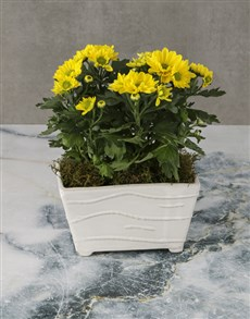 plants: Sunny Chrysanthemums in a White Pot!