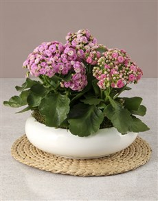 plants: Pink Kalanchoe In Large Bowl!