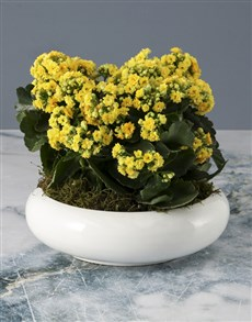 flowers: Yellow Kalanchoe In Flat Bowl!