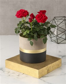 plants: Regal Red Rose Bush!