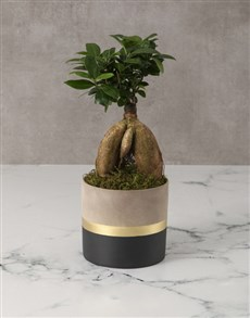 plants: Flawless Ficus in Cement Pot!
