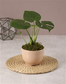 plants: Charming Potted Monsteria!