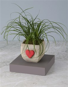 plants: Ponytail Palm In Heart Pot!
