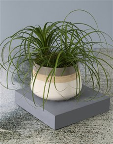 plants: Precious Ponytail Palm!