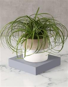 plants: Pretty Ponytail Palm in Striped Pot!