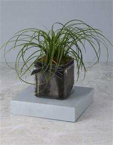 plants: Effortless Elegance Ponytail Palm!