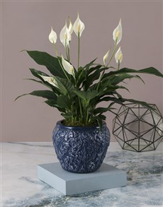 flowers: Elegant Spathiphyllum Pot Plant!